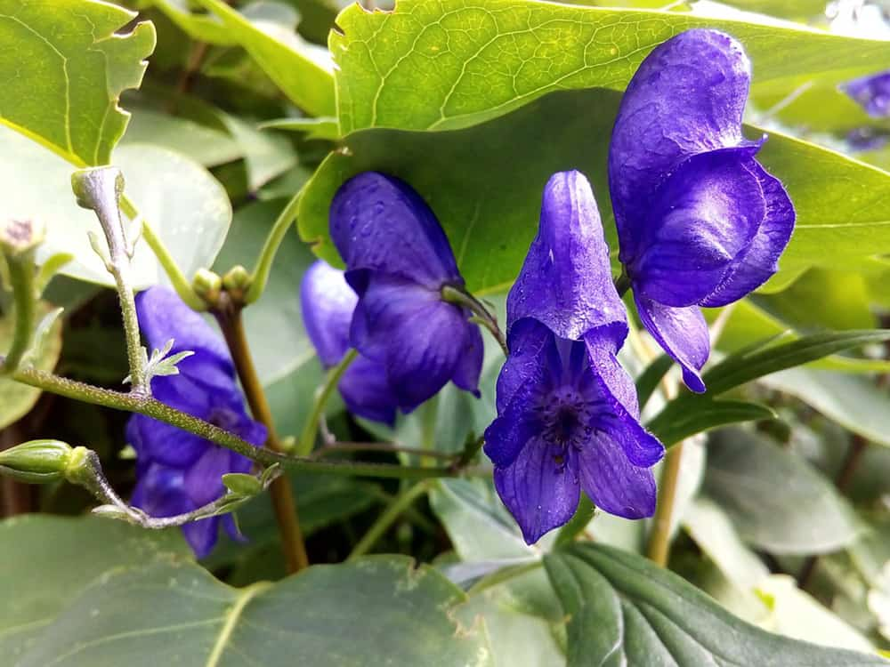 skullcap for anxiety